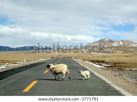 ewe and lamb run cross highway