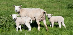 ewe and two lambs stand in green grassy meadow on sunny spring day