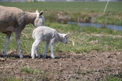 Ewe guides her newborn lamb in the first steps in the meadow next to a ditch in the Netherlands