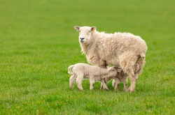 Ewe or female sheep in lush green field with two newborn, twin lambs suckling milk.  Springtime.  Clean background.  Horizontal.  Space for copy.  Yorkshire, England.