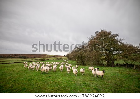 Photo of  ewe sheep and lambs in a group