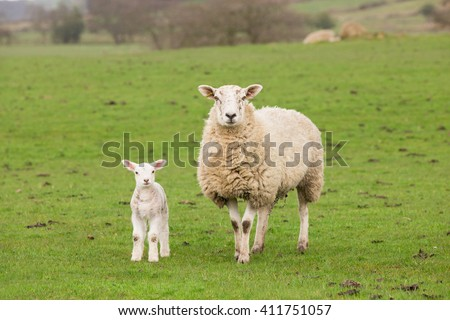Ewe sheep and single lamb on looking on spring grass