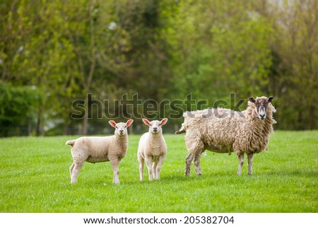 Ewe Sheep with two fat lambs Images and Stock Photos