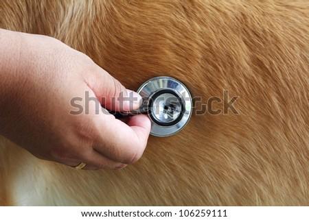 examining dog, Closeup Useful for design-works.