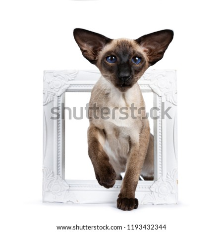 Excellent seal point Siamese cat kitten standing front view through a white picture frame looking at camera with deep blue eyes, isolated on white background