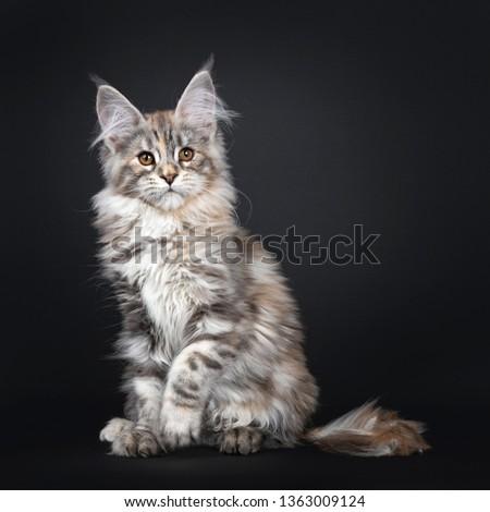 3f2c529f31 Excellent silver tortie Maine Coon cat kitten