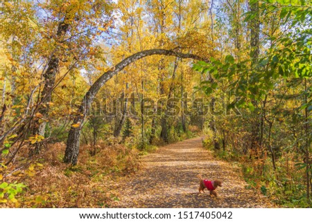 Excellent walks in the autumn forest give pleasure not only to people but also to walking Pets.