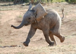 Excited baby African elephant running to a waterhole