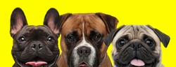 excited couple of 3 dogs consisting of a French Bulldog dog, Boxer dog and Pug dog arranged in line are having fun on yellow background