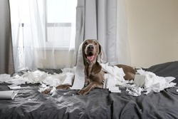 Excited playful pointer dog with tongue out lying on bed in bedroom among scraps of toilet paper