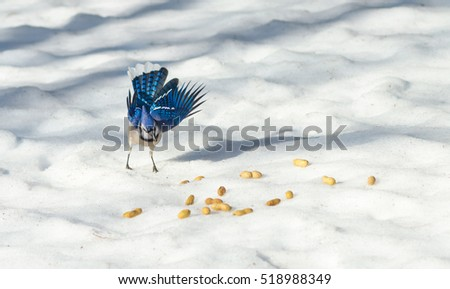 Excited springtime Blue Jay (Cyanocitta cristata) displays his feathers & colours while selecting a peanut on melting corn snow, cant believe his luck.  Peanuts, a favourite treat.
