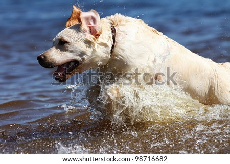 Excited young labrador retriever jumping out of water