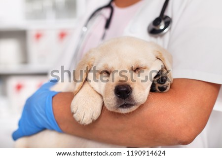 Exhausted cute labrador puppy dog sleeping on its paws in the arms of veterinary doctor - not bothered by the pending examination, closeup