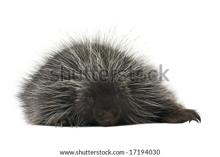 Exhausted porcupine resting on a white background