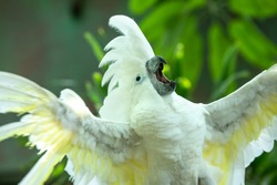 Exited white cockatoo excitedly flapping his wings and swinging his head as if putting on an opera singing performance in the greenery of a tropical forest. Dubai, UAE.