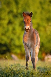 Exmoor pony (Equus ferus caballus), with beautiful green coloured background. Amazing endangered wild horse with brown hair in the steppe. Wildlife scene from nature, Czech Republic
