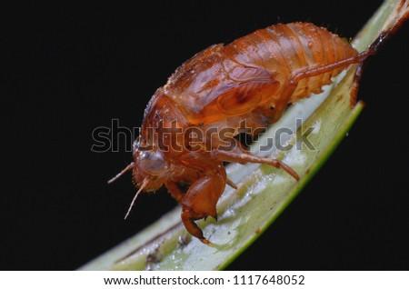 Exoskeleton of a cicada on green leaf