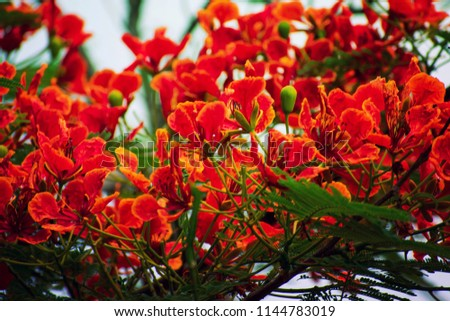 Exotic African tulip tree, African tulip, fireball, flame of the forest, flame tree or fountain tree. Native to tropical Western Africa.