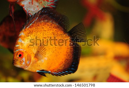 Shutterstock Exotic aquarium fish discus