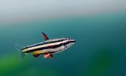 Exotic aquarium fish Dwarf Pencilfish Nannostomus marginatus. Macro view, selective focus. copy space.