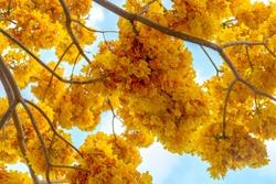 exotic beautiful yellow flower tree blue sky background