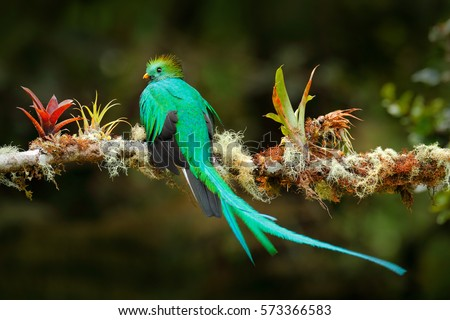Exotic bird with long tail. Resplendent Quetzal, Pharomachrus mocinno, magnificent sacred green bird from Savegre in Costa Rica. Birdwatching in America.