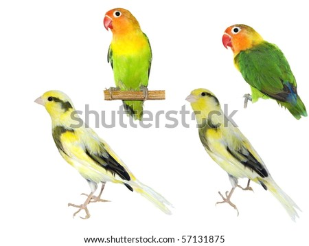 Exotic birds Yellow canary Serinus canaria,  Fischer's Lovebird Agapornis fischeri  isolated on white background (exclusive)