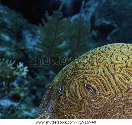 Exotic Brain coral with neon cleaning fish