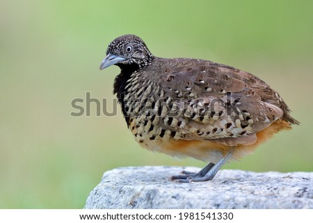 Exotic brown camouflage with black chest bird neatly standing on rock over bright green background in nature, Barred buttonquail or Common bustard-quail (Turnix suscitator)  Photo stock ©