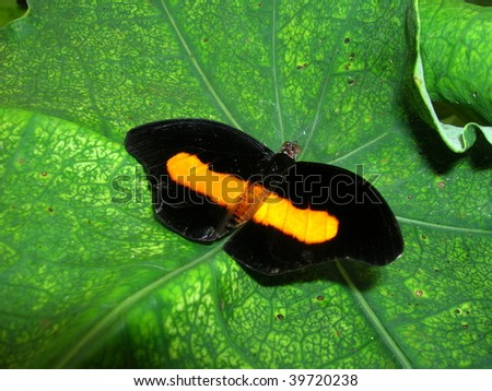 Exotic Butterfly in Ecuador Rainforest