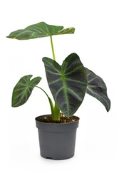 Exotic 'Colocasia Esculenta Aloha' garden- or houseplant with dark green and almost black leaves in flower pot isolated on white background