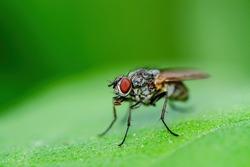 Exotic Drosophila Fly Diptera Parasite Insect Macro