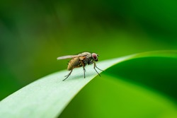 Exotic Drosophila Fly Diptera Parasite Insect on Green Grass Macro