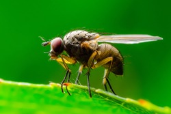 Exotic Drosophila Fly Diptera Parasite Insect on Green Leaf Macro