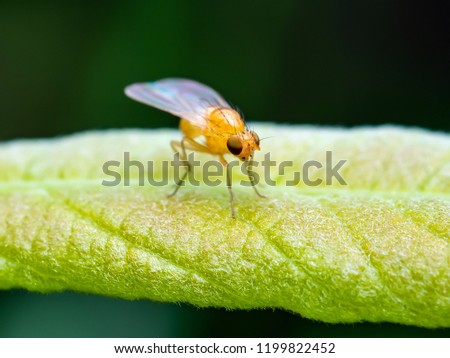 Exotic Drosophila Fruit Fly Diptera Insect on Planе Leaf on Dark Background