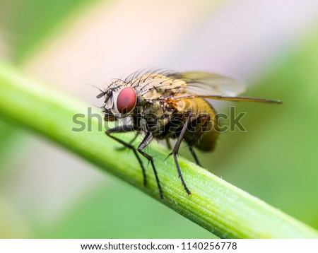 Exotic Drosophila Fruit Fly Diptera Insect on Plant