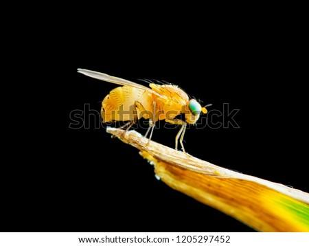 Exotic Drosophila Fruit Fly Diptera Insect on Plant Isolated on Black Background