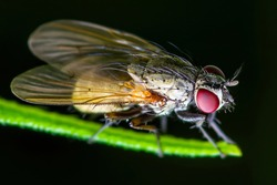 Exotic Drosophila Fruit Fly Diptera Parasite Insect on Green Grass Macro
