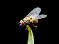 Exotic Drosophila Fruit Fly Diptera Parasite Insect on Plant Isolated on Black Background