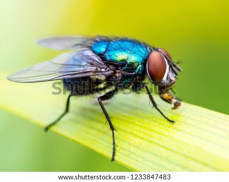 Exotic Drosophila Fruit Fly Diptera Parasite Insect on Plant Leaf