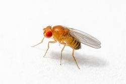 Exotic Drosophila Fruit Fly Diptera Parasite Insect on White Background