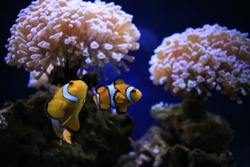 Exotic fish Clownfish in frot of sea anemone flower in the center of oceanography and marine biology