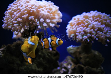 Exotic fish Clownfish in frot of sea anemone flower in the center of oceanography and marine biology 'Moskvarium'. Moscow, VDNKh Foto stock ©
