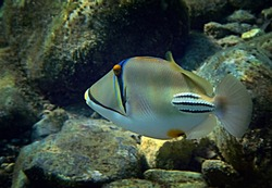 Exotic fish -  Picasso trigger-fish, scientific name is Rhinecanthus assas, the species belongs to the family Balistidae, it inhabits Red Sea, Middle East
