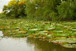 Exotic flora. Giant Water Lilies, Victoria cruziana, aquatic plants in the river.