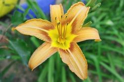 Exotic flower on dark green tropical foliage nature background. Orange lily flower.
