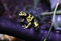 exotic frogs, blue frog and yellow-black frog