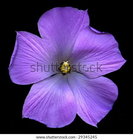 Hibiscus Flower Picture on Exotic Hibiscus Flower Isolated On Black Background Stock Photo