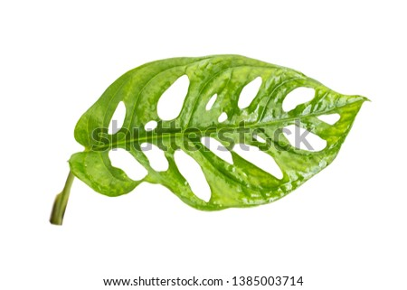 Exotic hollow leaves Monstera Adansonii with a isolated background
