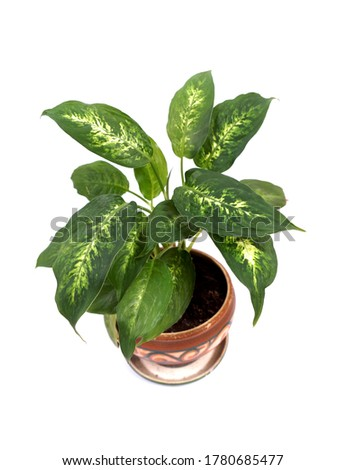Exotic houseplant with white (Dieffenbachia Camilla)  and green leaves                         Foto stock ©